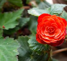 Pretty little red flower by kazeproductions