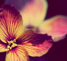 Viola by Matthew Pugh