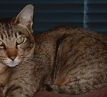 Special Oriental Shorthair by felinefriends