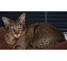 Special Oriental Shorthair Photographic Print