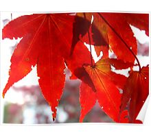Front Yard Tree - Japanese Maple     ^ Poster