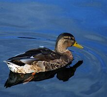 Mallard at Cromford by Paul  Green