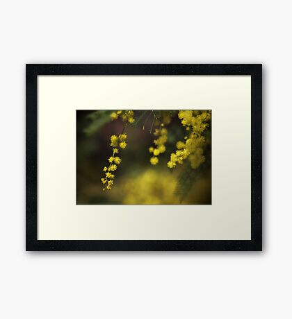 Spring Wattle Framed Print