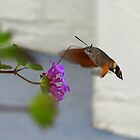 Hummingbird Moth - Dubrovnik by Honor Kyne