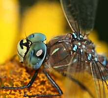 Dragonfly Macro  by Vickie Emms
