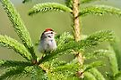 Chipping Sparrow by Renee Dawson