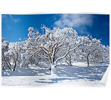 Snowgum and blue skies, Mt Blue Cow Poster