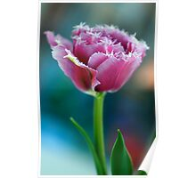 Ruffled Parrot Tulip Poster