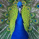 Peacock Portrait by Jenny Brice
