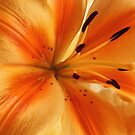 Beauty of Orange Shines  by Doty
