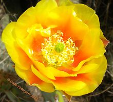 Colored By The Sun - Prickly Pear Cactus Flower by Cate Peterson