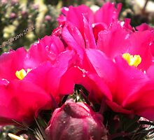 Flower Fish Comes Up For Air - Pink Prickly Pear Cactus Flowers by Cate Peterson