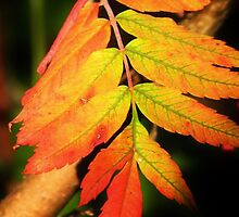 More Autumn Leaves by lorilee
