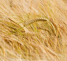 Golden Summers: Bearded Barley by Skye Hohmann