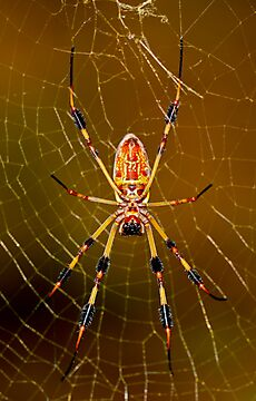 banana spider symmetry  by Manon Boily