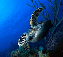 Hawksbill and Reef by Todd Krebs