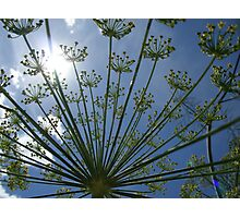 daylight dill too Photographic Print