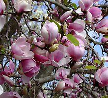 Magnolia Soulangeana - San Jose by Gabrielle  Lees