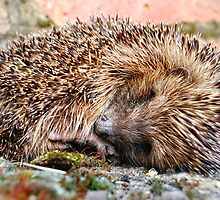 Sleeping Hedgehog by Jennie Anderson