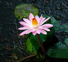 Water lily by Jessy Willemse