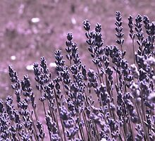 Lavender by Denise Abé