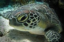 Baby green turtle... by shellfish