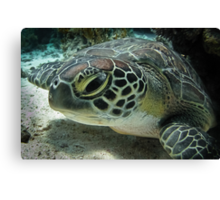 Baby green turtle... Canvas Print