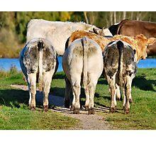 Three Cows Photographic Print