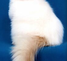 Super Colorpoint Persian by felinefriends