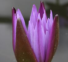 Opening lily by drphotography