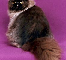 Funky Colorpoint Persian by felinefriends