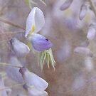 wisteria by Teresa Pople
