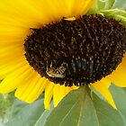 Sunflower Bee by Marie Van Schie
