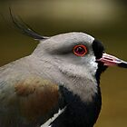 Southern Lapwing (Vanellus chilensis) by Mark Hughes