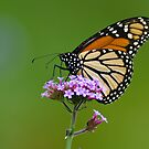 Monarch Butterfly on an August Afternoon by Steve Borichevsky
