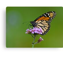 Monarch Butterfly on an August Afternoon Canvas Print