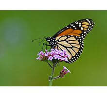 Monarch Butterfly on an August Afternoon Photographic Print