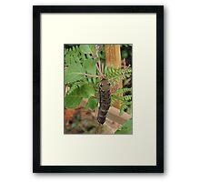 Croco (Deilephila Elpenor) - Belgium Framed Print