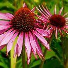 Echinacea flowers by Amanda Gazidis