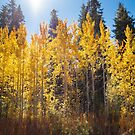 Ockenden Ranch Aspens by Jonathan Coe