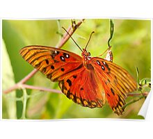 Orange Butterfly - (Gulf Fritillary ) Poster