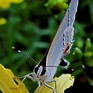 You Looking At Me? - Colorado Hairstreak Butterfly by aprilann