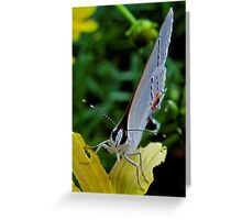 You Looking At Me? - Colorado Hairstreak Butterfly Greeting Card