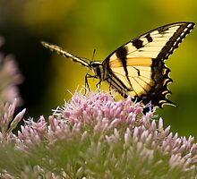 Tiger Swallowtail by Jeff Weymier