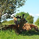 Deer on a summers day by Tom Clancy