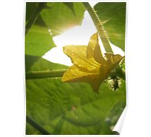 Yellow Cucumber Flower Poster