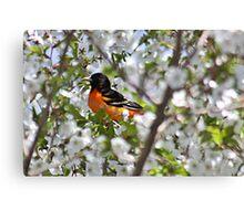 Baltimore oriole in cherry tree Canvas Print