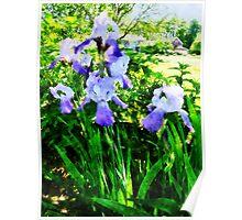 Purple Irises in Suburbs Poster