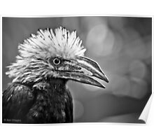 My arch nemesis- the white crested hornbill Poster