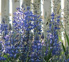 Sunlit Lupins by Kathi Arnell